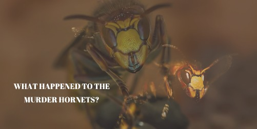 What Happened to the Murder Hornets? – Smithsonian Scientist Explains